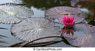 Water lily pink pond tranquil scene Trinidad and Tobago...