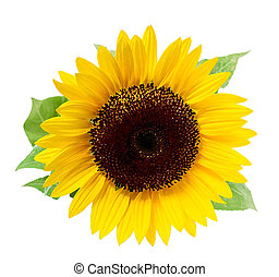 Sunflower, isolated on a white background Illustration in...