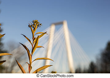 Rosebay Willowherb Fireweed in front of Cable Bridge in...
