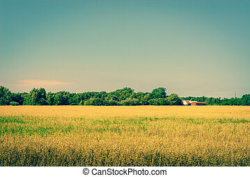Golden crops on a field with a barn