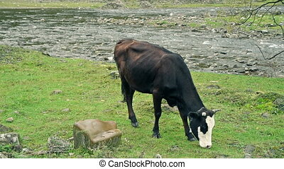 Cow pastures at the river bank - Cow pastures at the...
