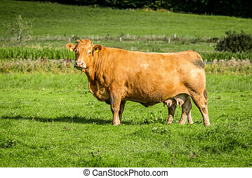 Big cow standing on a field