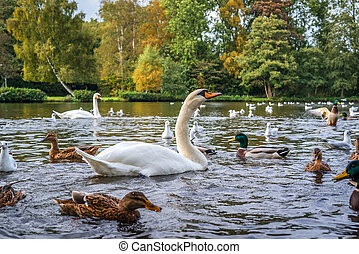 Swans and ducks in the water in autumn