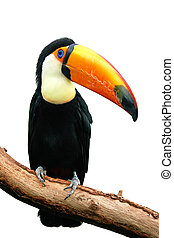 Toco Toucan Ramphastos toco - Toco Toucan resting on a...