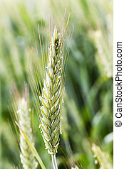 blooming rye flowering - photographed close-up ears of rye...