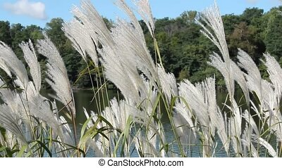 White Pampas Grass - A patch of white Pampas Grass swaying...