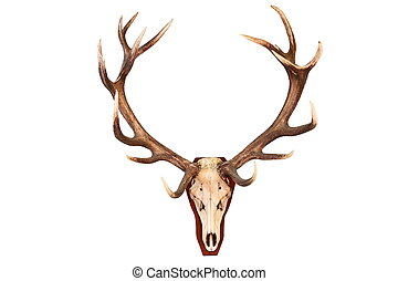 awesome red deer hunting trophy isolated over white...