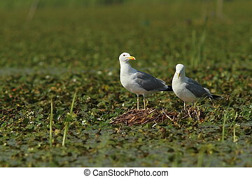 caspian gulls on the nest - caspian gulls sitting on the...