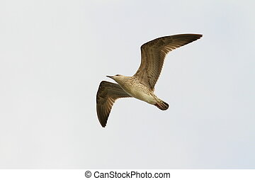 juvenile caspian gull in flight ( Larus cachinnans )
