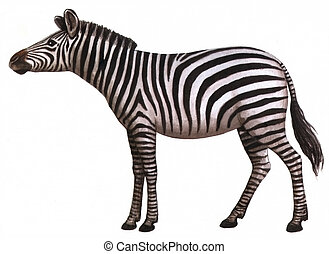 Animal zebra - Drawing on paper animal zebra isolated on a...