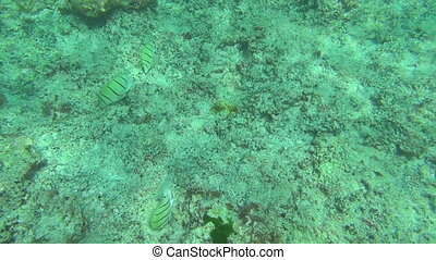 Tropical fishes - Tropical underwater world, Similan...