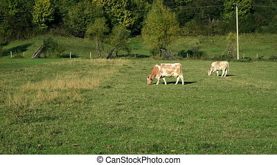 Cow pastures at the meadow - Cow pastures at the green grass...