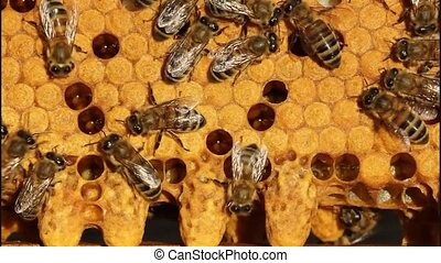 Bees and cocoons Queens Bees - Future Queen Bee develops in...