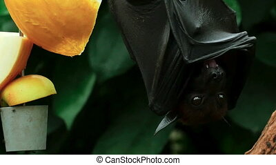 Flying fox - Lyle's flying fox (Pteropus lylei) eating...