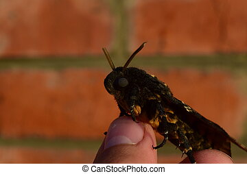 Dead head. The large butterfly belonging to family of...