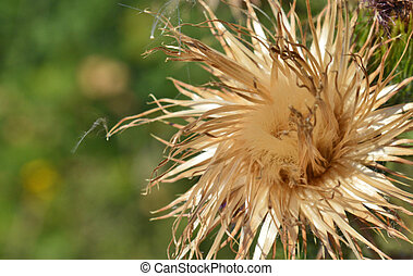 Thistle - Deflorated Milk thistle