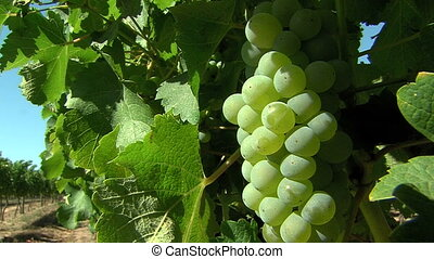 juicy grapes in a vineyard