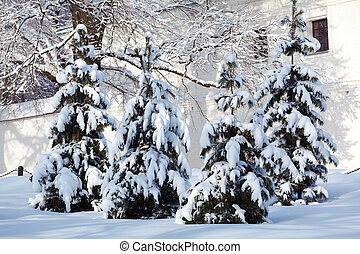 Snowy Pine Trees at Winter Forest