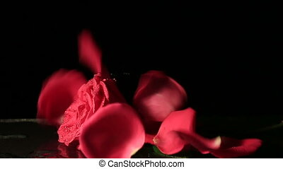 Petals falling on a rose. Slow motion.