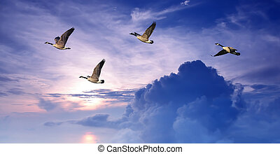 Birds flying over purple sky panoramic view - Geese flying...