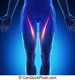 sartorius - blue muscle anatomy - sartorius