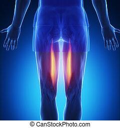 semitendinosus - blue muscle anatomy - semitendinosus