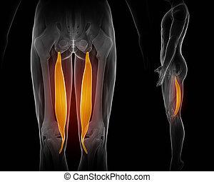 semitendinosus black anatomy muscle isolated -...
