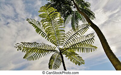 Mimosa Tree - Close up of beautiful Mimosa Tree against the...
