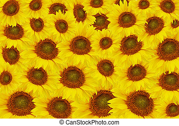 The beautiful Yellow sunflowers As a background
