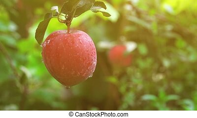 Hand picking apple from the branch of an apple tree in...