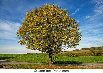 lime-tree in autumn