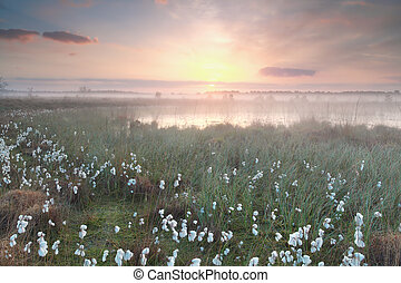 gold misty sunrise over swamp with cotton-grass, Kampina,...