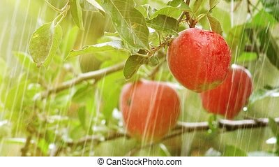 Fresh red apples, organic orchard i - Sudden summer rain...