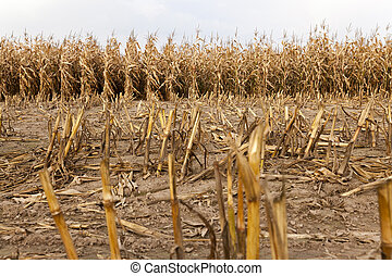 agricultural field with corn - ripe yellow corn during...