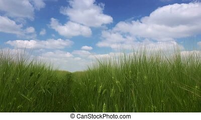 Idyllic green wheat field landscape with beautiful spring...