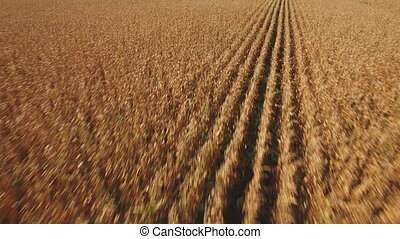Sliding camera over cultivated corn field - Wide view of...