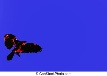 Fire Bird Six - Fire bird isolated over blue screen