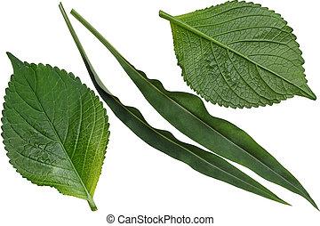 Hydrangea and Stokesia Leaf - Hydrangea and Stokesia laevis...