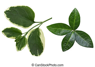 Vinca Leaf - Set of two kinds of vinca leaf isolated on...