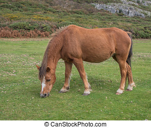 Brown Horse grazing on common land