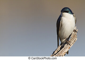 Tree Swallow perched on broken branch - Tree Swallow framed...