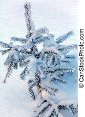 Snowy Pine Tree at Winter Forest