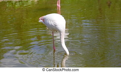 White long-legged flamingos in sunny day - Group of flamingo...