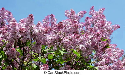 Flowering lilac shrub in summer day - Violet lilac...