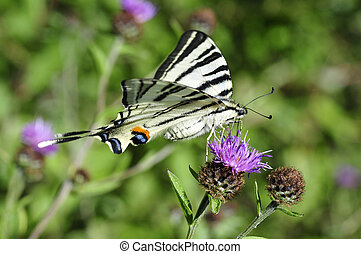 Scarce Swallowtail butterfly Iphiclides podalirius feeding...