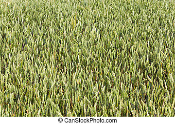 immature cereals wheat - photographed close up immature...
