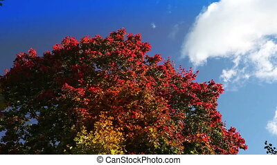 clouds in the blue sky over bright autumn tree