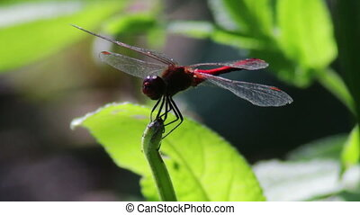 Dragonfly on a branch plant - Red big Dragonfly, close-up,...