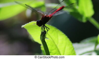 Dragonfly on a branch plant. - Red big Dragonfly, close-up,...