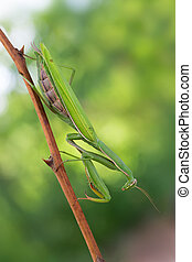 european mantis - photography macro of european mantis on...